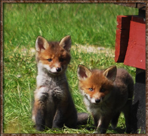 Idre Camping foxes fox wildlife