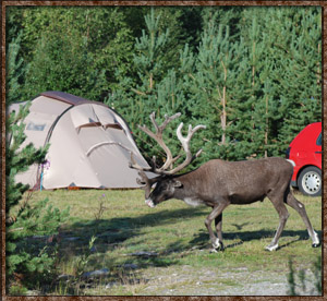 Idre Camping reindeer